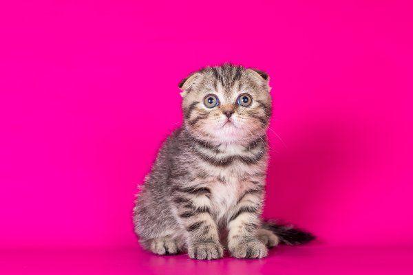 Шотландские вислоухие и прямоухие чистокровные котята