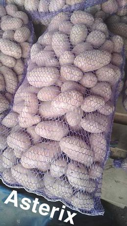 Ziemniaki na bieżąco kopanie ( 10 zl 15 kg) ASTERIX ANTONIA REDSONIA
