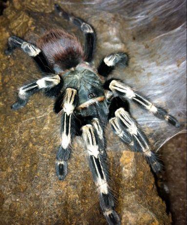 Ptasznik Nhandu chromatus. Samica 5DC