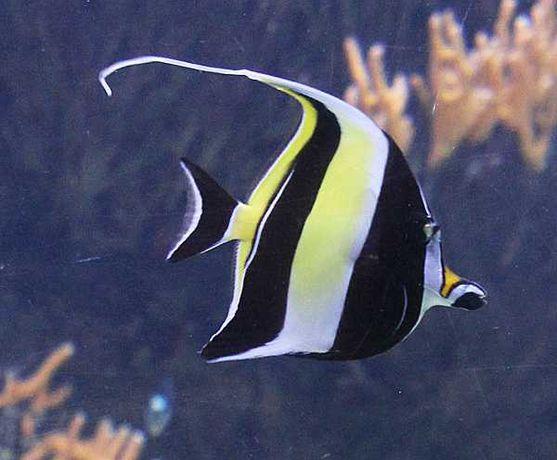 Akwarium morskie-Zanclus cornutus (idolek mauretański)