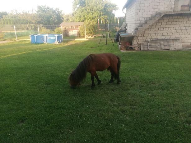 Koń  kucyk  3 latka