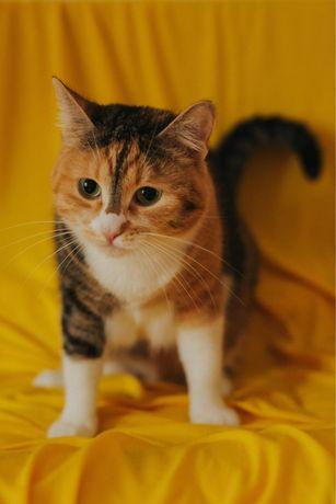 Отдам даром трехветную кошку