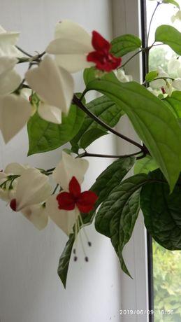 продам кімнатні рослини