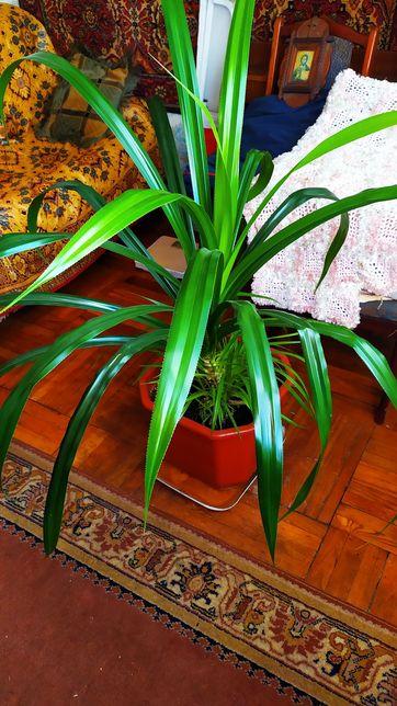 Панданус , пальма винтовая , бесплатная доставка по Таирова