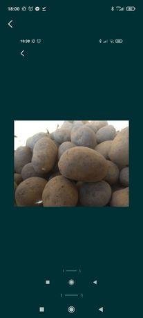 Ziemniaki jak sadzeniak żółty Lord