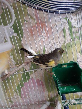 Птицы канарейки овсяночного напева
