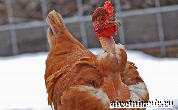 Інкубаційні яйця Іспанки червоної