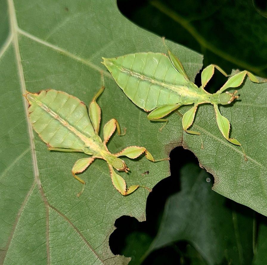 Liściec jesienny - phyllium philippinicum