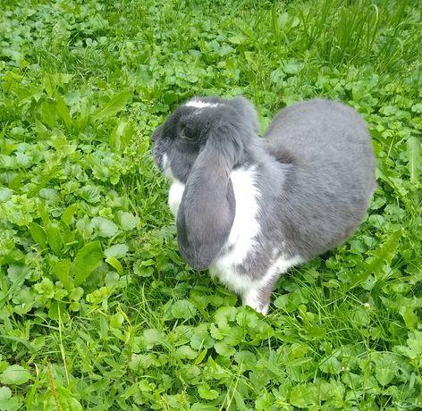 Królik króliki samica baran francuski niebieski