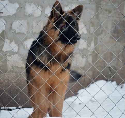 Предлагается к продаже породный подрощенный щенок немецкой овчарки