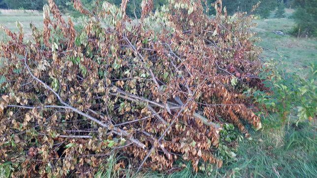 Gałęzie duże ilości