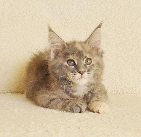 Przepiękna koteczka Shandy Black Aster*PL po World Championie - rezerw