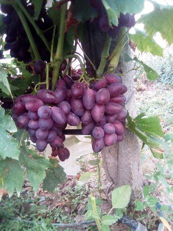 Саженцы винограда столовых сортов.
