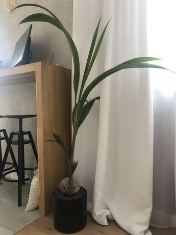 Palma kokosowa 150 cm