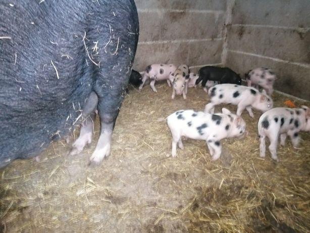 Porcos pretos para venda