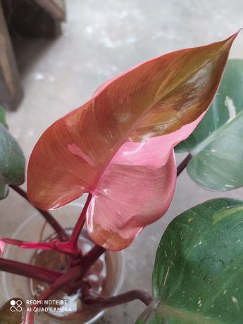 Филодендрон Pink queen