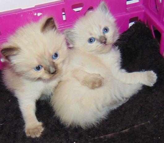 Gatinhos Balinês