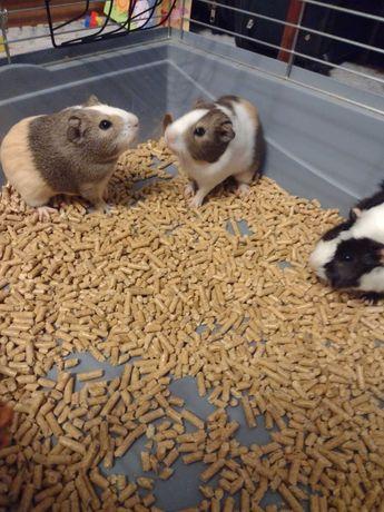 Sprzedam 3 młode świnki morskie