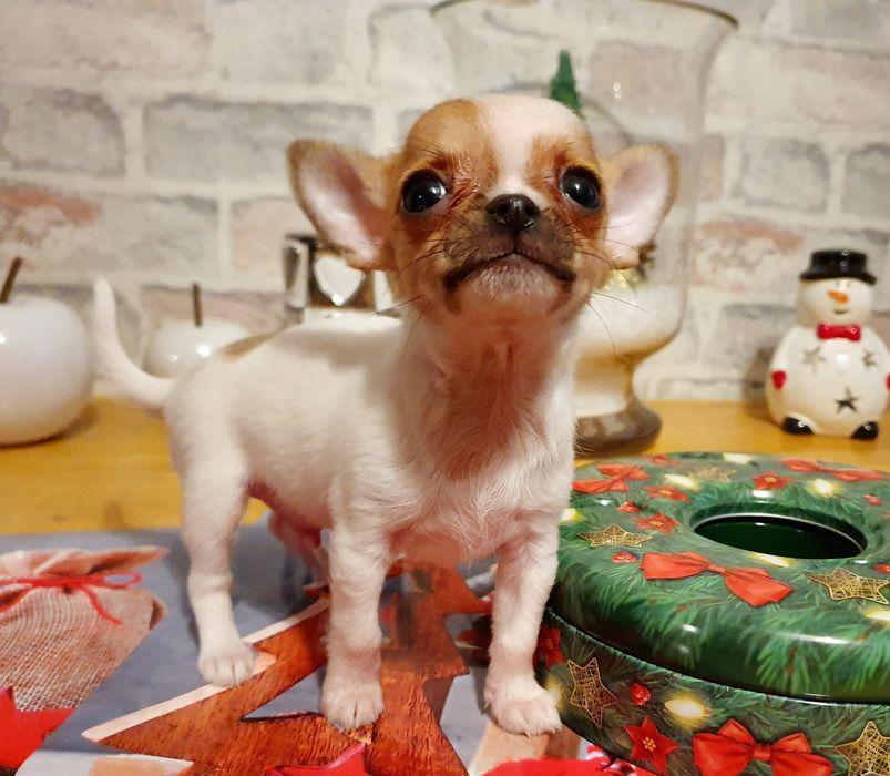 Przepiękny,idealny chłopiec Chihuahua Chihuahua JUŻ DO ODBIORU Grudziądz - image 1