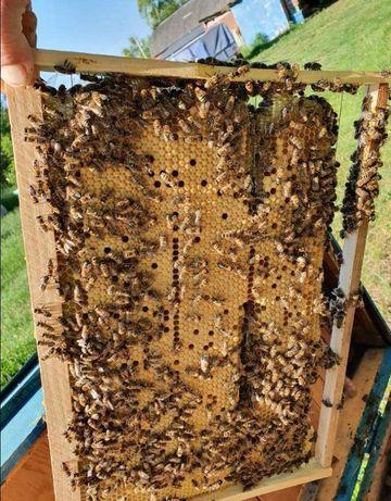 Матка. Карпатка. Матки Карпатські бджоли