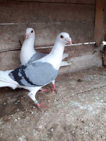 Gołębie ślaskie tarczowe siwe