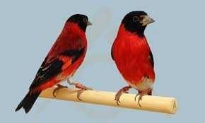 Vendo ou troco casal de cardinalitos