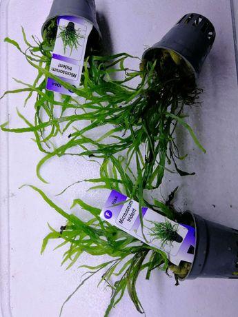 Microsorium pteropus 'Trident' 22,00 zł/koszyk i inne rośliny na skały