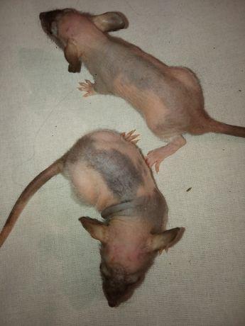 Сфинкс  крыса лысая