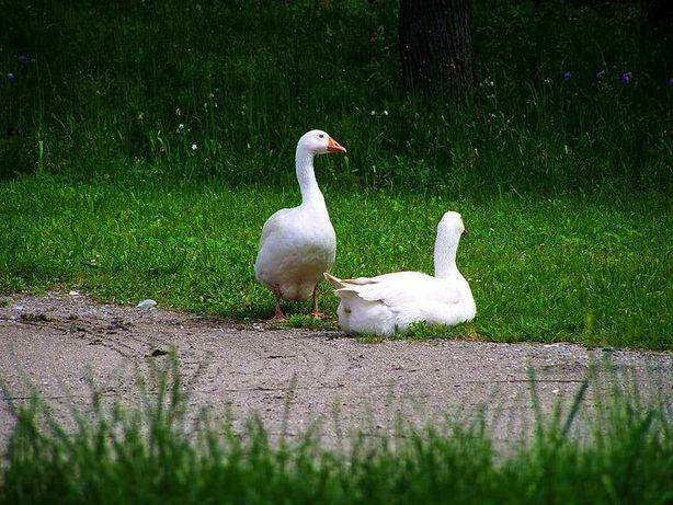 Casal gansos adultos