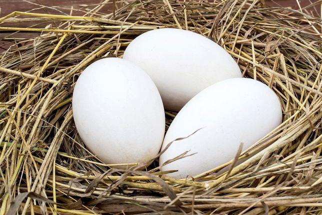 Jajka gęsi białych