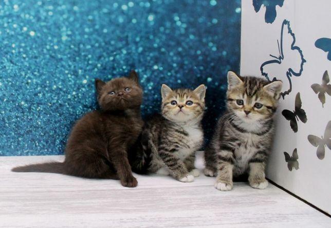 Наймиліші шотландські кошенята з прямими вушками.