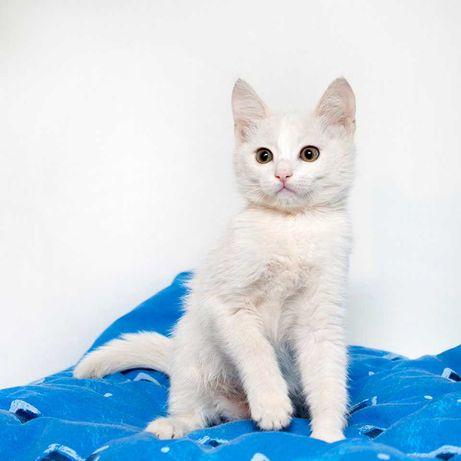 Невероятный белоснежный котенок Зефир, 2,5 месяца