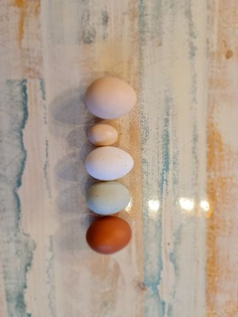 Jaja legowe silka silki wysylam