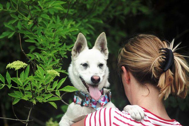 Mała, biała suczka, miniaturka husky, podrośnięty szczeniak, adopcja