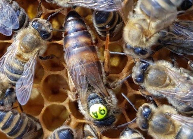 Карника Краутер. (Jan Krauter)Пчеломатки. Селекционные.