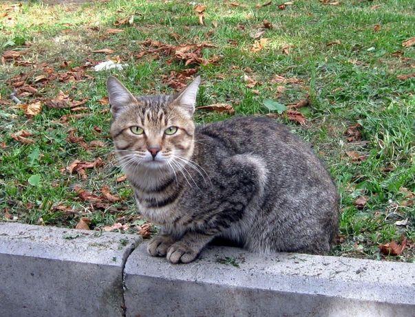 отдам кота лесного окраса,1,5 года