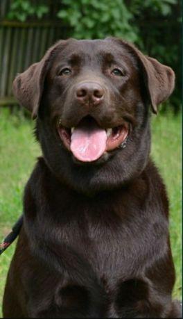 Продам собаку породи лабрадор ретривер