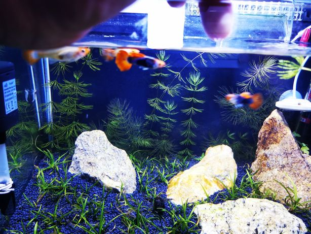 Guppy koi Tuxedo pack de 10 peixes
