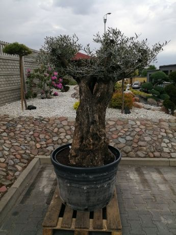 Drzewo Oliwne Bonsai - Olea Europea Bonsai 200cm - nr 59