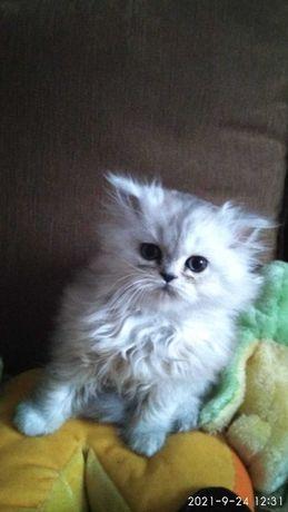 котенок персидский, мальчик персидский, персидские котята