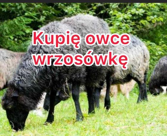 Wrzosówka wrzosówki owca owce sprzedam