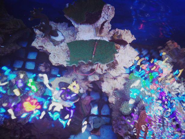 Montipora talerzowa zielona koralowiec