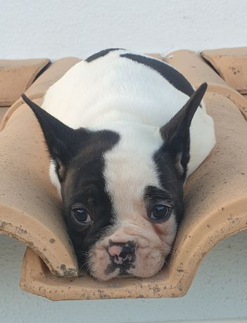 Bulldog Francês TOP