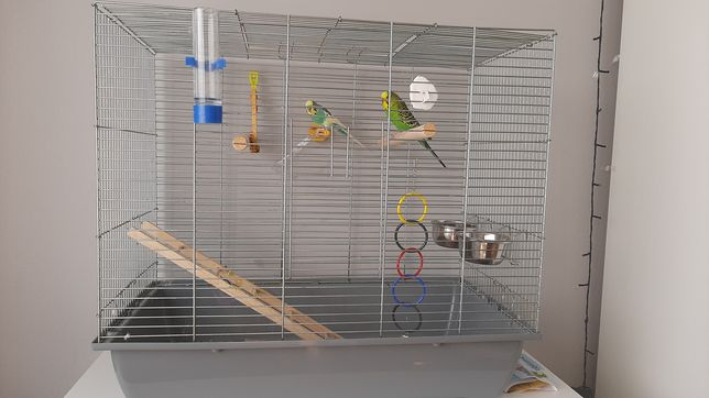 Papugi faliste + jedzenie