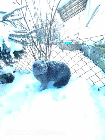 Вісловухий кіт голубого окрасу. В'язка