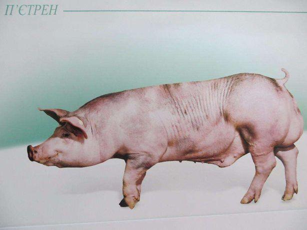 Штучне запліднення свиней.Цена 300 грн. Кормові добавки та комбікорма.