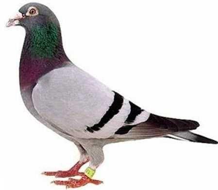 Obraczkomat obraczkowanie gołębi dorosłych
