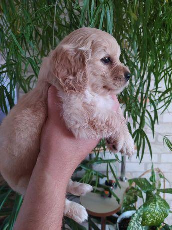 Щенки спаниель пекинес собаки