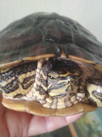 Черепаха дорослий хлопчик.