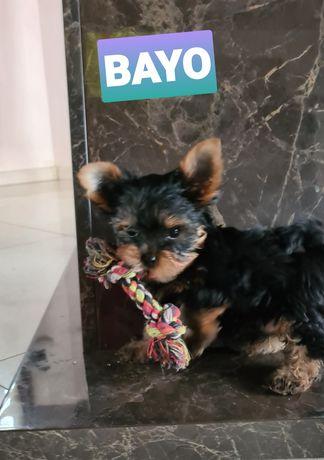 Yorkshire terrier Bayo